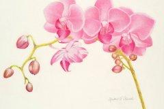 Como Park Palenenopsisi Orchid