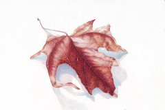 Fall Colored Maple Leaf